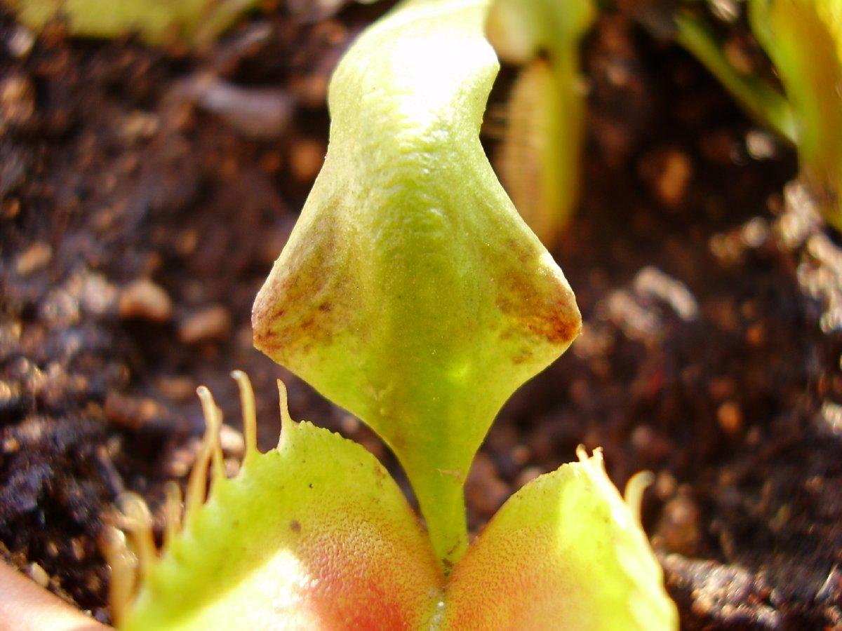 Ragnetto Rosso Su Dionaea Muscipula