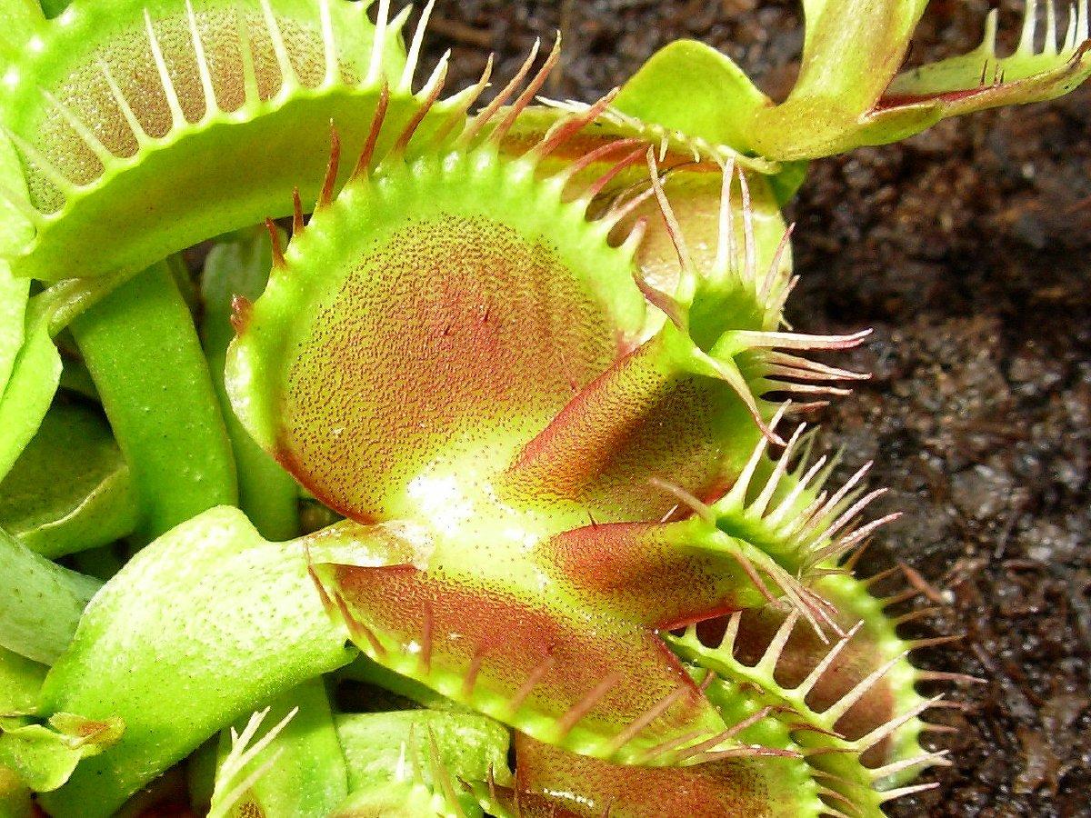 Dionaea.it