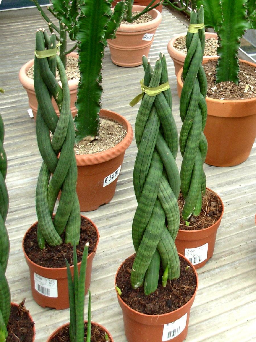 Piante Da Appartamento Intrecciate.Dionaea It